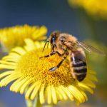 Eine Honigbiene auf einer Blüte.